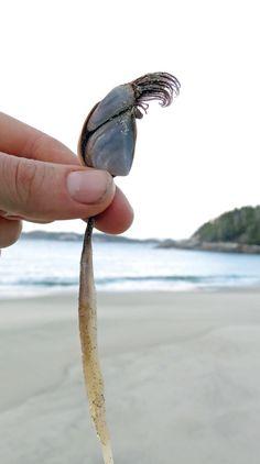 Pelagic goose barnacle (Lepas anatifera)