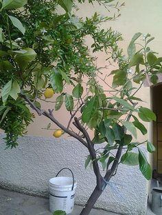 Citroen (vrucht) - Wikipedia