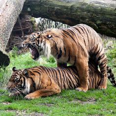 Parende Tijgers Burgers'Zoo | Flickr - Photo Sharing!