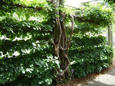 Espalier Designs   Climbing hydrangea, Hendrie Park, Royal Botanical Gardens