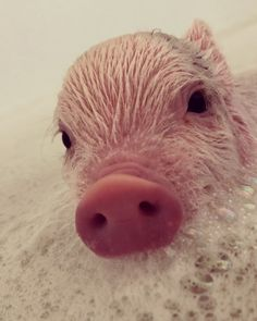 Miniature Pet Pigs – Why Are They Such Popular Pets? – Pets and Animals Cute Funny Animals, Cute Baby Animals, Animals And Pets, Cute Dogs, Farm Animals, Cute Baby Pigs, Cute Piglets, Cute Babies, Baby Animals Pictures