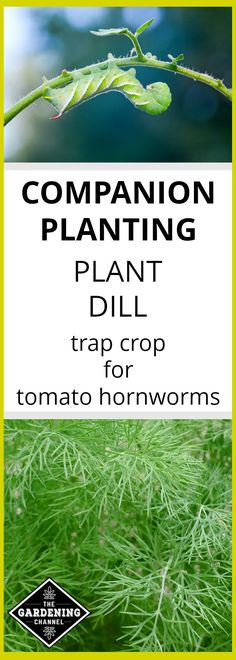 Learn how to use dill as a companion plant by growing it as trap crop for tomato hornworms. Save your tomato plants.