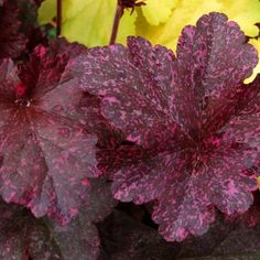 "Heuchera 'Midnight Rose'.  Pt shade. 10""H.  Heucheras tolerate sun well.  If in lots of HOT sun, they need lots of water.  Many varieties to choice!!  All of mine do best in pt shade with 2-4 hours of sun."