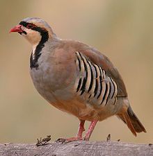 The chukar partridge or chukar (Alectoris chukar) is a Eurasian upland gamebird in the pheasant family Phasianidae. It has been considered to form a superspecies complex along with the rock partridge, Philby's partridge and Przevalski's partridge and treated in the past as conspecific particularly with the first. The species has been introduced into many other places and feral populations have established themselves in parts of North America and New Zealand.