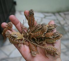 baby bearded dragons.. Possibly a new addition to our growing family!!