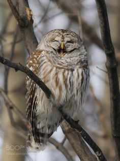 Barred owl- Chouette rayée by franstonge #animals #animal #pet #pets #animales #animallovers #photooftheday #amazing #picoftheday