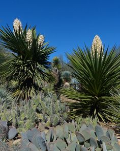 Yucca faxoniana blooming in the Berlin Agave Yucca Forest.