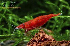 Tropical Fresh Water 15x CHERRY RED SHRIMP +1 FREE Fish Tank Algae Eater Cleaner