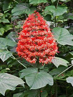 Clerodendrum paniculatum - Flor-de-pagode - planta arbustiva, de textura semi-lenhosa. As folhas são grandes, opostas, perenes. Em áreas de clima quente, pode florescer ao longo de todo ano, com maior intensidade no verão. Deve ser cultivada sob sol pleno ou meia sombra.