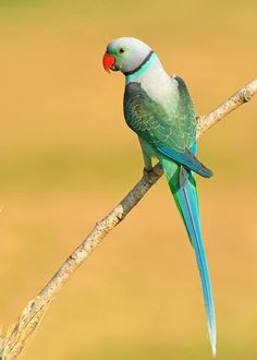 Blue-winged or Malabar Parakeet (Psittacula columboides) India