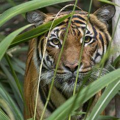 Tiga the tiger | Flickr - Photo Sharing!