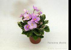 Toronto Belle Cool miniature African Violet Perennial Flowering Plants, Herbaceous Perennials, African Violet, Indoor Gardening, Violets, Pansies, Planting Flowers, Bouquets, Orchids