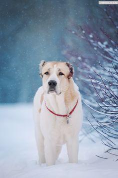 Caucasian Ovcharka Dog. Фото, автор ChumichevaM на Яндекс.Фотках