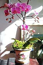 Caring for a Phalaenopsis Orchid