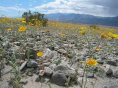 Desert wildflowers near Stovepipe Wells after a late winter rain.