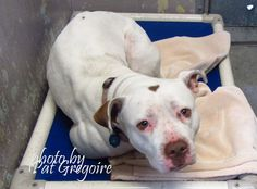 A4830267 my name is Ina. I am a 1 yr old spayed female white/brown pit bull mix. I came to the shelter as a stray on May 14. available 5/29/15 NOTE: Pit bulls are not kept as long as others so those dogs are always urgent!! Baldwin Park shelter https://www.facebook.com/photo.php?fbid=968793359799168&set=a.705235432821630&type=3&theater