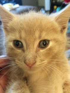 Foster kitten Coconut has beautiful eyes! #rescue #adoptdontshop #kitten #kittenlove #kittenseason #kittens #coconut