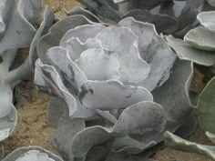 Cotyledon undulata (silver crown, silver ruffles)