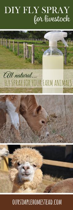 DIY Homemade Fly Spray for Livestock - Homemade Fly Spray Recipe - Flies… Flies…. and more Flies! You know it's summer when the flies start outweighing you!