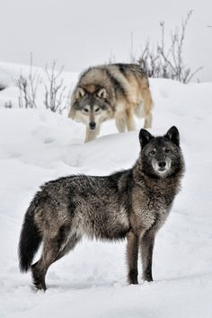 Black and Grey Wolves