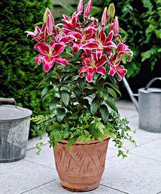 Lily 'Stargazer' http://www.spaldingbulb.co.uk/flower-bulbs/lily-bulbs/ ❤️