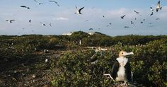 Frigate birds and terns