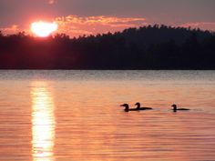 Family of Loons on Lake Androscoggin at Sunset in Wayne, Maine