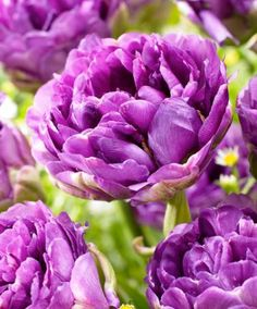 Tulipani 'Exquisit'