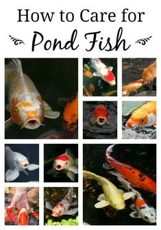 KOI Fish Care and Health in a Pond Ecosystem How to Care for Your Pond Fish Outdoor Ponds, Ponds Backyard, Indoor Pond, Garden Ponds, Outdoor Fountains, Garden Tips, Garden Ideas, Koi Fish Care, Fish Fish