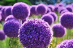 Purple Halo Boston Public Gardens. Plant is in the allium family