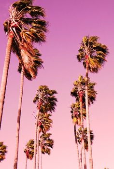 """""""Pink"""" Palm Trees."""