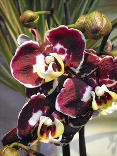 phalaenopsis am rundbogen orchideen pinterest orchideen neue wege und sch ne hintern. Black Bedroom Furniture Sets. Home Design Ideas
