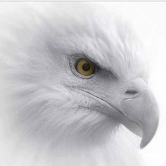 Types of Eagles - American Bald Eagle art portraits, photographs, information and just plain fun Beautiful Birds, Animals Beautiful, Types Of Eagles, 4 Image, Animals And Pets, Cute Animals, Eagle Wallpaper, Eagle Pictures, Eagle Art