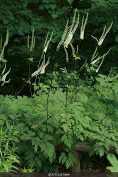 Cimicifuga racemosa (Actaea racemosa) This is the green variety, grows taller than Atropurpurea Black Beauty.
