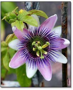 rosemeire3: Flor maracuja / Flores na caatinga no inverno