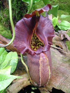 nepenthes-robcantleyi