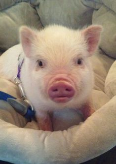 I discussed the pros of owning a mini pig, so now let& discuss mini pig cons. We love and adore Oscar, but not every day with a pet mini pig is easy. Tiny Pigs, Small Pigs, Mini Pet Pigs, Mini Potbelly Pigs, Cute Baby Pigs, Cute Piglets, Baby Piglets, Animals And Pets, Baby Animals