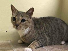 SAFE! TO BE DESTROYED 5/10/14 ** Super sweet and affectionate Flynn came down with possible pneumonia. Please help save this adorable girl tonight!! ** Manhattan Center  My name is FLYNN. My Animal ID # is A0996875. I am a spayed female gray tabby domestic sh mix. The shelter thinks I am about 2 YEARS old.  I came in the shelter as a STRAY on 04/16/2014 from NY 10471