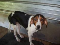 Ginger is an adoptable Treeing Walker Coonhound Dog in Chipley, FL. Ginger came in with Gilligan and they appear to be walker coonhounds or fox hounds. Both are beauties and very sweet and friendly. G...