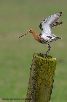 Photograph Black-tailed Godwit by René Vos on 500px