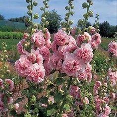 Мальва-выращивание, посадка, размножение, уход. | Дачный сад и огород