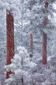 winter, Ponderosa Grove, Deschutes National Forest, outside of Sisters, Oregon. Photo: Floris van Bruegel