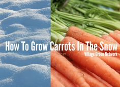 How To Grow Carrots In The Snow / http://villagegreennetwork.com/grow-carrots-snow/