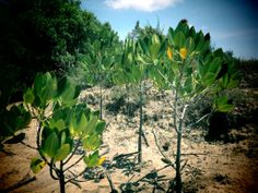protecting mangroves ecosystem