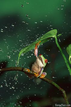 A frog using a leaf as an umbrella. (J'ai du mal à croire qu'une grenouille veuille se protéger de la pluie. I love the way the droplets of water are just bouncing off the leaf. Les Reptiles, Reptiles And Amphibians, Beautiful Creatures, Animals Beautiful, Beautiful Flowers, Funny Animals, Cute Animals, Red Eyed Tree Frog, Tier Fotos