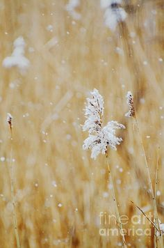 Blooms in the snow - Anahi DeCanio