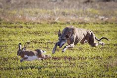 <3Greyhound AND a real rabbit chase! <3