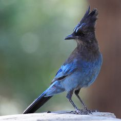 Steller's jay(Cyanocitta stelleri) Also known as thelong-crested jay,mountain jay, andpine jay