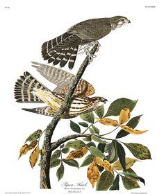 Pigeon Hawk by John James Audubon Audubon Prints, Audubon Birds, Merlin, Hawk Bird, Wolves And Women, Birds Of America, John James Audubon, Thing 1