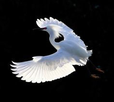 """""""Flying Snow Egret"""" by TinyBirds    http://www.pxleyes.com/blog/2011/06/the-best-in-bird-photography-50-crystal-clear-bird-shots/"""